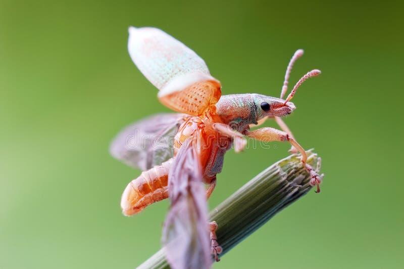 O besouro de Snout está a ponto de voar fotos de stock