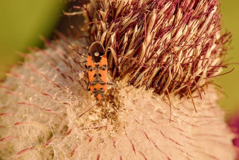 O besouro descansa na flor do cardo imagem de stock royalty free