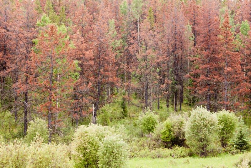 O besouro do pinho de montanha matou a floresta do pinho fotos de stock royalty free