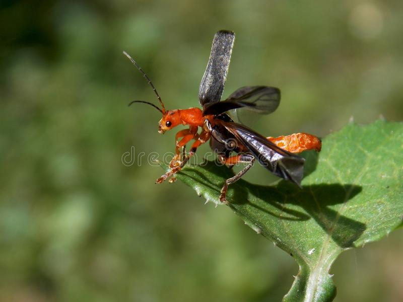 O besouro está tentando voar imagens de stock royalty free