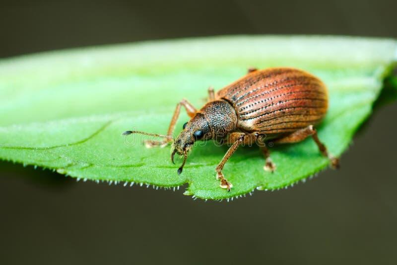 O besouro Largo-cheirou a broca (coleópteros: Curculionoidea) fotografia de stock