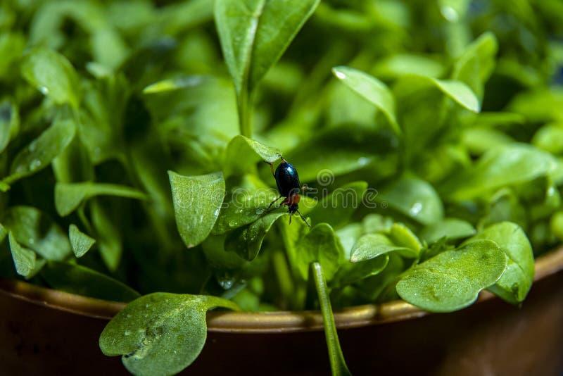 O besouro pequeno pendura de cabeça para baixo em uma folha verde da alface imagem de stock