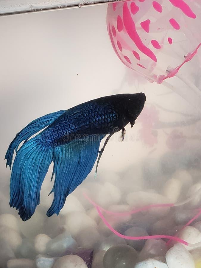 O beta encontra medusa cor-de-rosa imagem de stock
