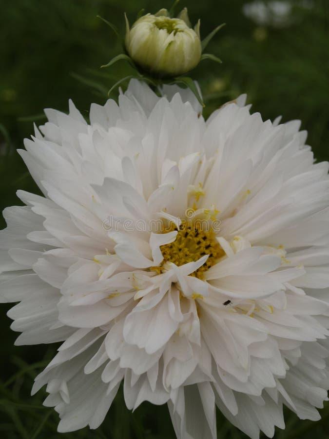 O bipinnatus do cosmos faz duplo clique o sopro 04 da neve foto de stock royalty free