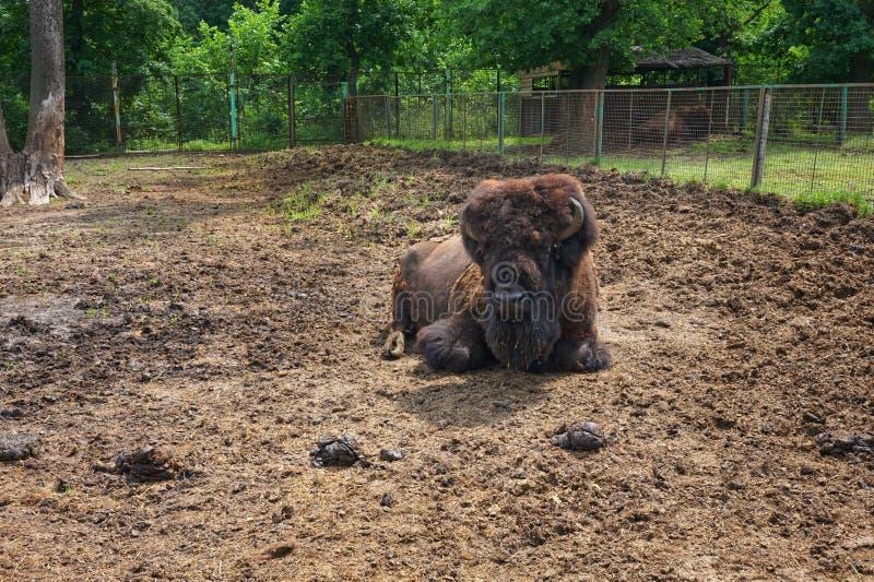 O bisonte americano encontra-se na areia no jardim zoológico imagens de stock