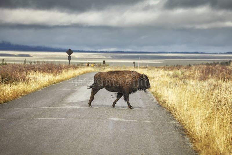 O bisonte cruza a estrada no parque nacional grande de Teton, Wyoming, EUA imagens de stock royalty free