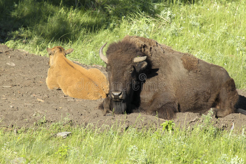 O bisonte e a vitela estabelecem imagem de stock