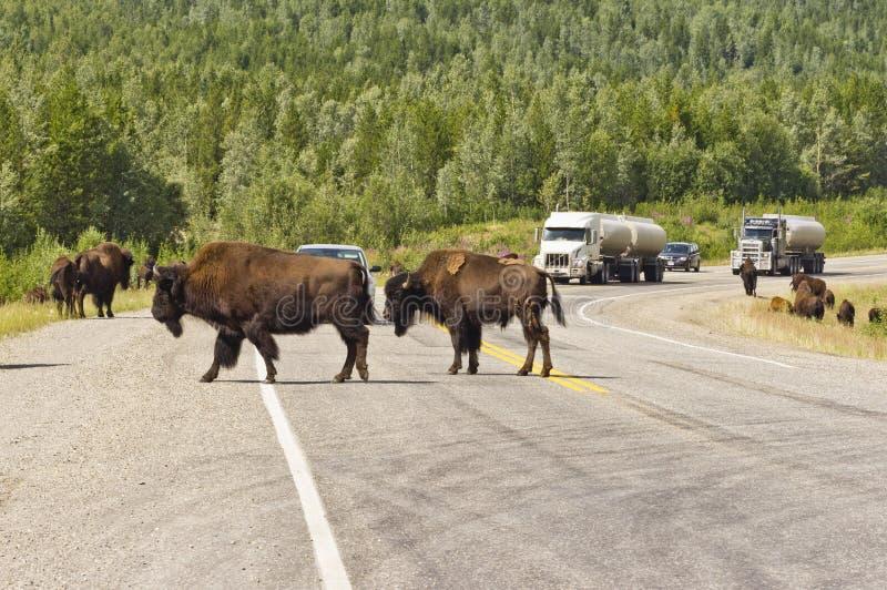 O bisonte possui a estrada de Alaska fotografia de stock royalty free