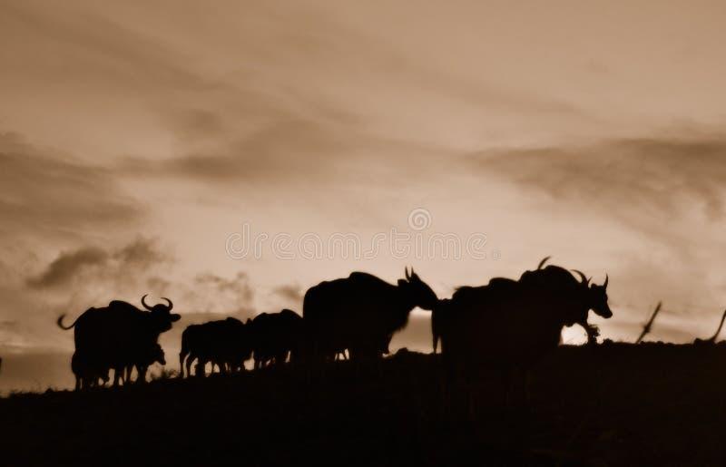 O bisonte preto e branco fotos de stock royalty free
