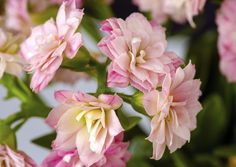 O blossfeldiana de Kalanchoe com rosa floresce o close up imagem de stock royalty free