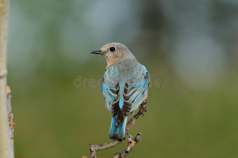 O Bluebird fêmea solitário da montanha empoleirou-se foto de stock royalty free