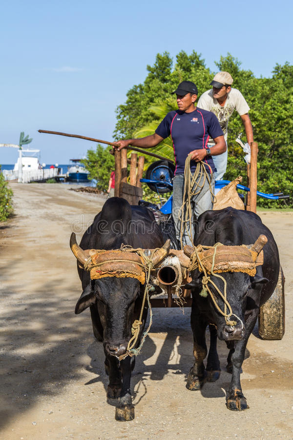 O boi puxou o transporte no cais da balsa de Palma Rubia em Cuba imagens de stock