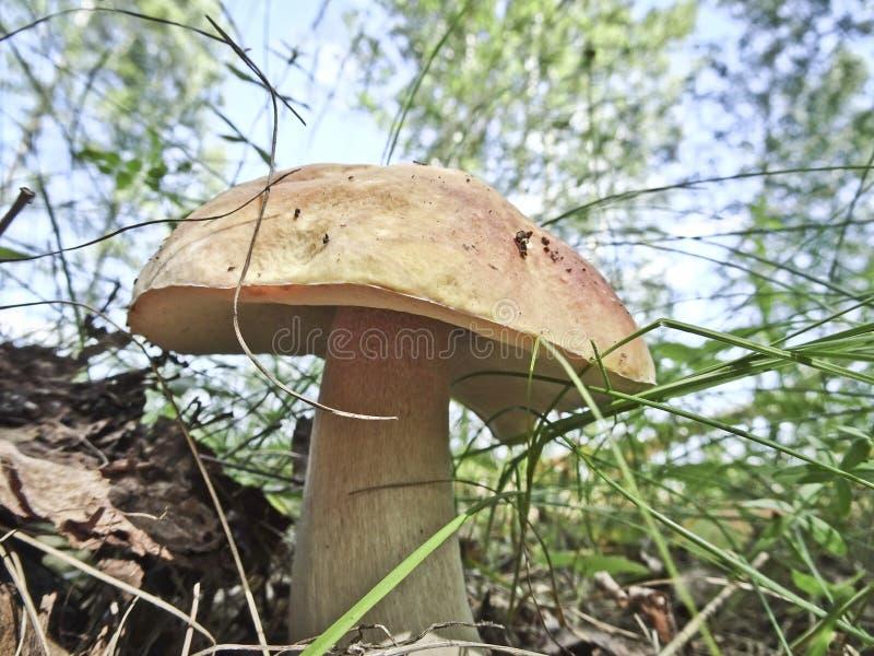 O boleto forte do cogumelo cresceu em um esclarecimento imagem de stock royalty free