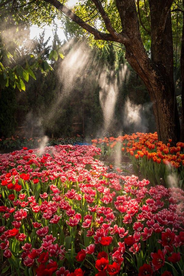 O bonito do jardim das tulipas em Países Baixos imagens de stock