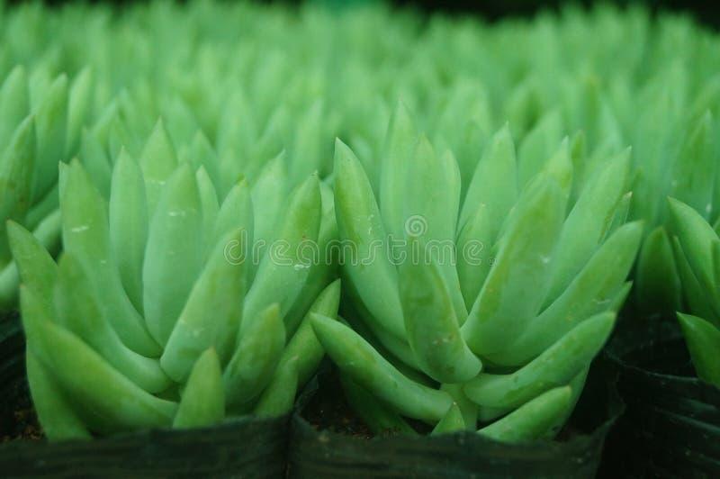 O bonsai de uma planta meaty é muito bonito imagem de stock