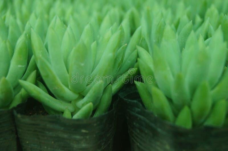 O bonsai de uma planta meaty é muito bonito imagens de stock royalty free