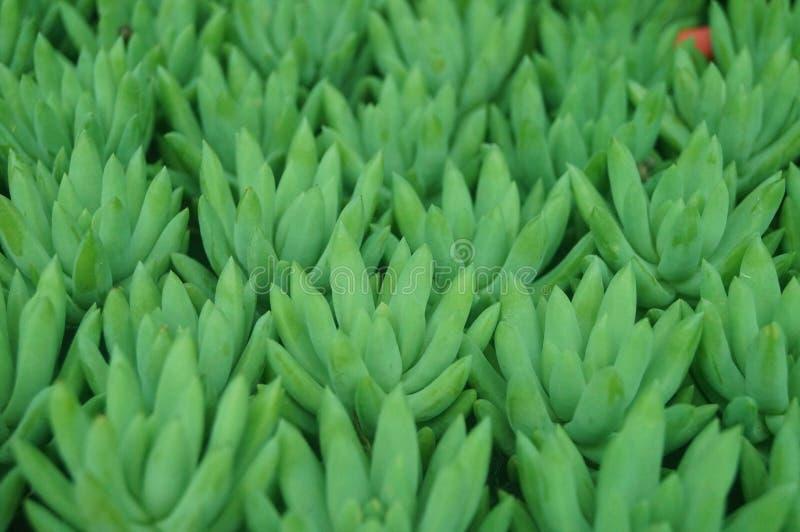 O bonsai de uma planta meaty é muito bonito fotografia de stock royalty free