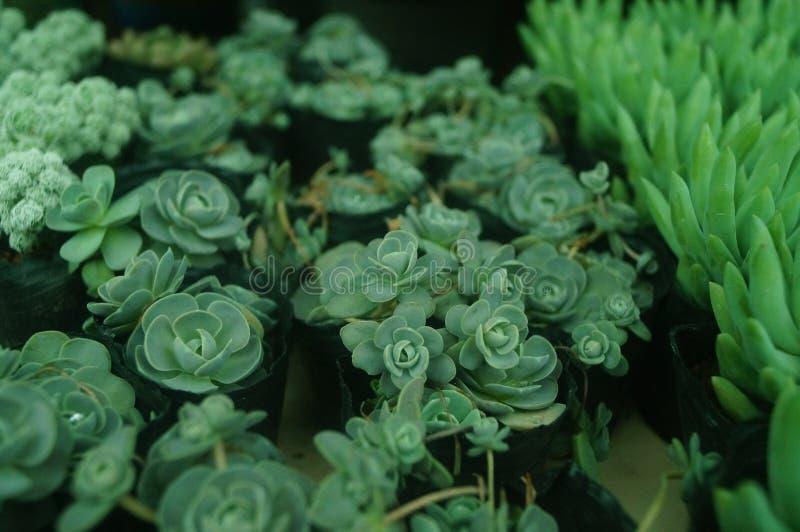 O bonsai de uma planta meaty é muito bonito fotografia de stock