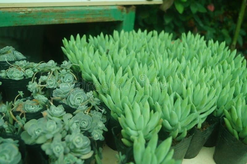 O bonsai de uma planta meaty é muito bonito fotos de stock royalty free