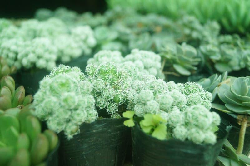 O bonsai de uma planta meaty é muito bonito foto de stock royalty free