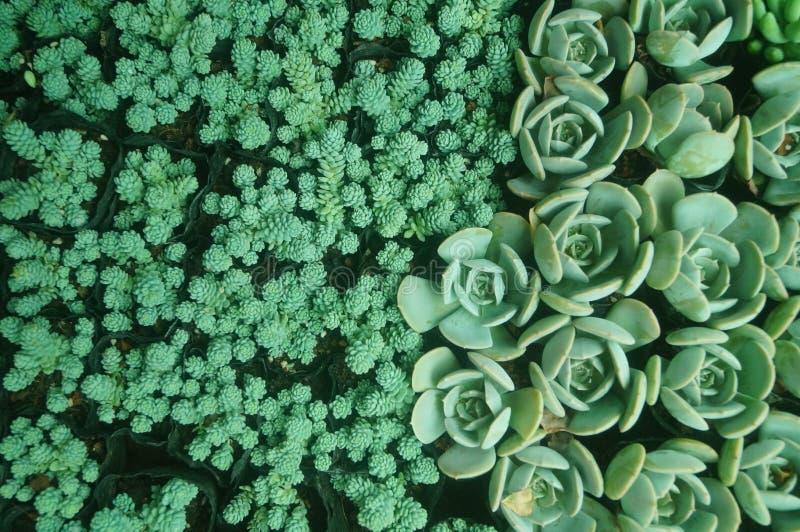O bonsai de uma planta meaty é muito bonito imagens de stock
