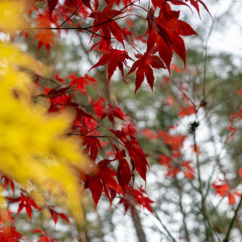 O bordo japonês vermelho agudamente ilustrado na frente do borrado ilustrou o japonicum amarelo de Acer do bordo do fã fotografia de stock royalty free