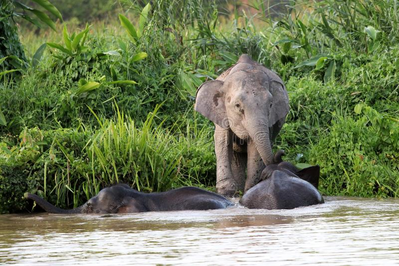 O borneensis do maximus do Elephas dos elefantes do pigmeu de Bornéu banha-se no rio - Bornéu Malásia Ásia fotos de stock royalty free