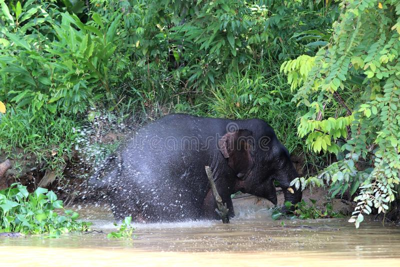O borneensis do maximus do Elephas dos elefantes do pigmeu de Bornéu banha-se no rio - Bornéu Malásia Ásia foto de stock