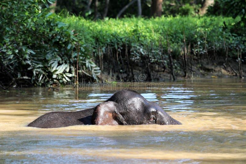 O borneensis do maximus do Elephas dos elefantes do pigmeu de Bornéu banha-se no rio - Bornéu Malásia Ásia fotografia de stock