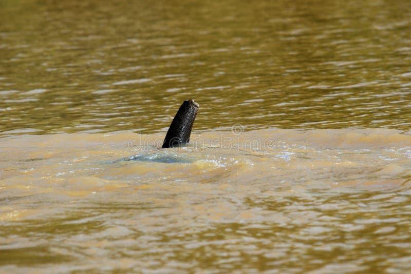 O borneensis do maximus do Elephas dos elefantes do pigmeu de Bornéu banha-se no rio - Bornéu Malásia Ásia imagens de stock royalty free