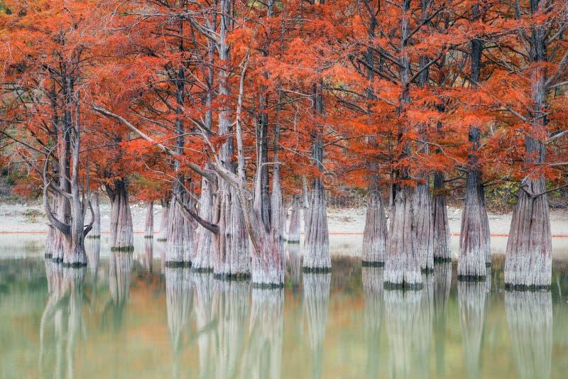 O bosque de árvores de cipreste do pântano no outono imagens de stock
