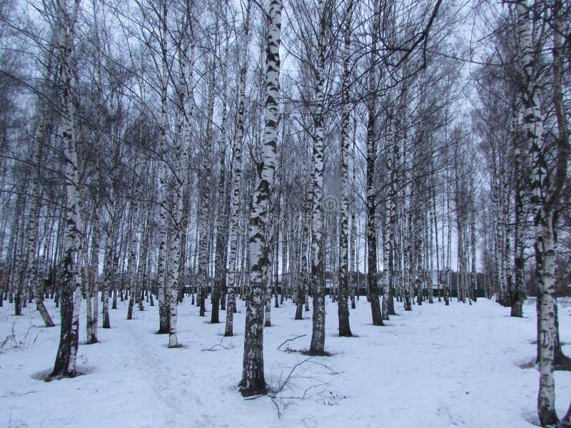 O bosque do vidoeiro no inverno fotografia de stock royalty free