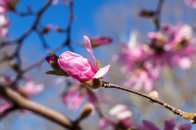 O bot?o da magn?lia cor-de-rosa em um fundo brilhante do c?u azul Floresc?ncia da ?rvore da magn?lia em um dia de mola ensolarado fotos de stock