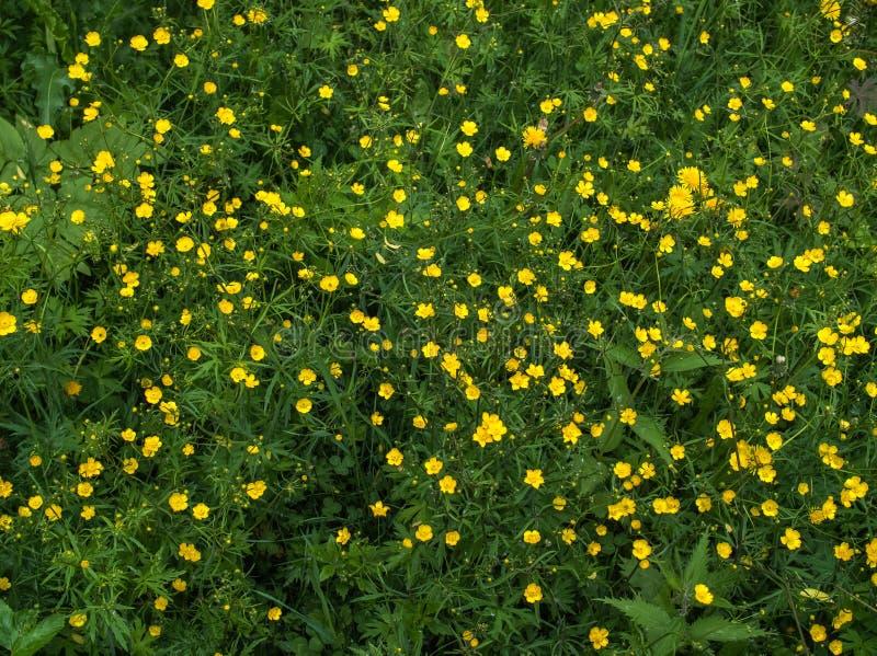 O botão de ouro amarelo brilhante floresce entre a grama verde Grama de prado e botão de ouro selvagem imagem de stock