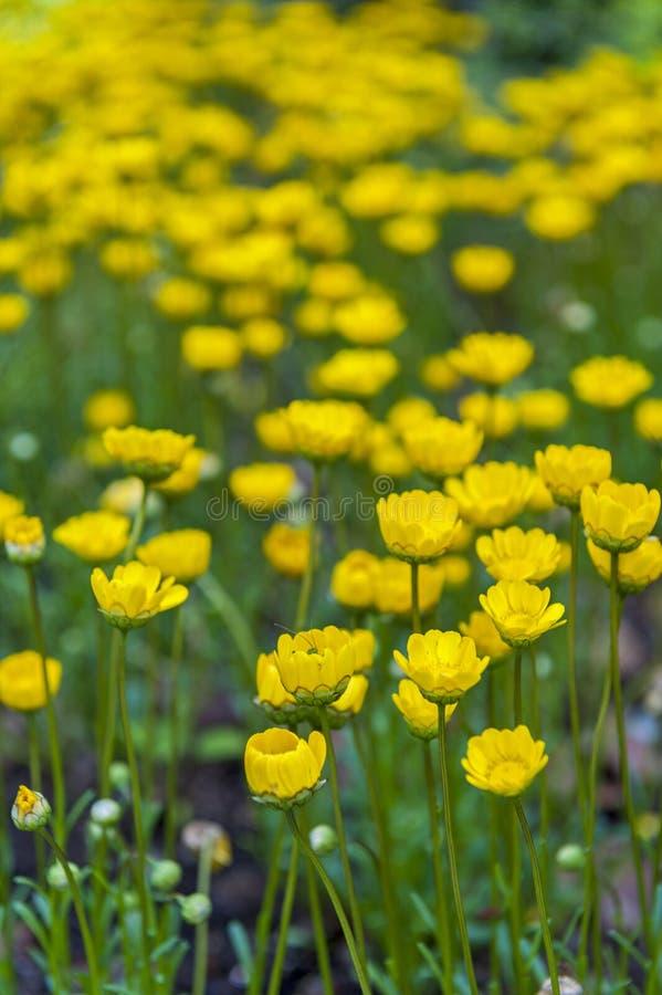 O botão de ouro amarelo floresce o ranúnculo que cresce no jardim imagens de stock