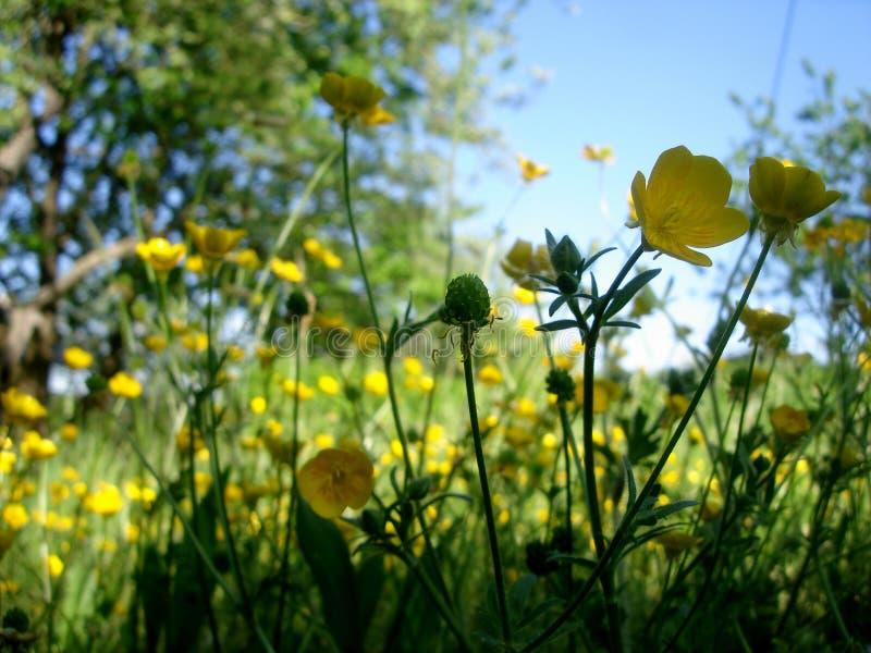 O botão de ouro floresce no prado floral contra um céu azul fotografia de stock royalty free
