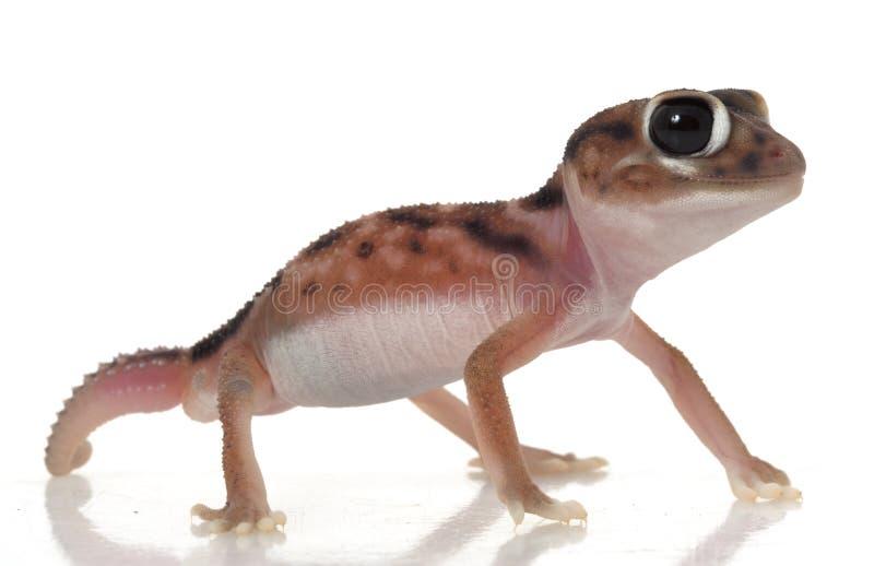 O botão de Pernatty atou o Gecko imagem de stock royalty free