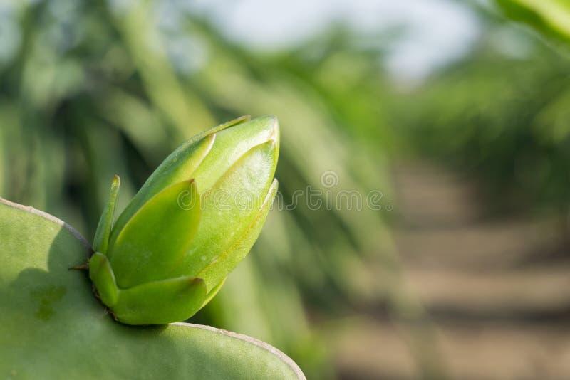 O botão do fruto do dragão fotografia de stock royalty free