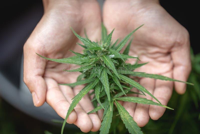 O bot?o da planta do cannabis fecha-se ? disposi??o acima Planta do cannabis do cannabis da marijuana do exame do fazendeiro e bo imagem de stock