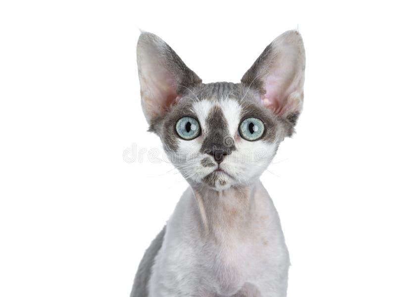 O branco adorável com cinza mancha o gatinho do gato de Devon Rex no fundo branco fotografia de stock royalty free