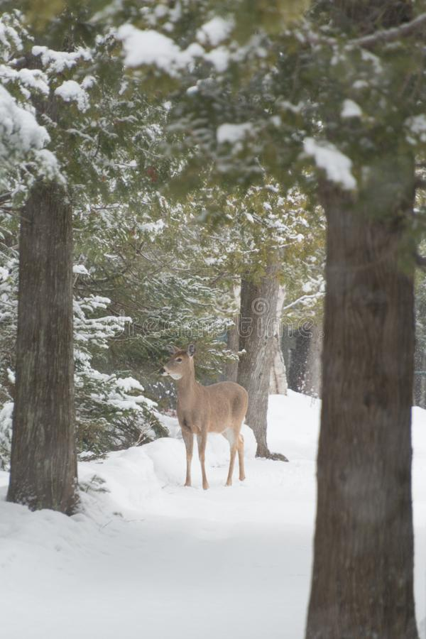 O branco atou cervos nas madeiras e neve no inverno que olha o asroun foto de stock royalty free