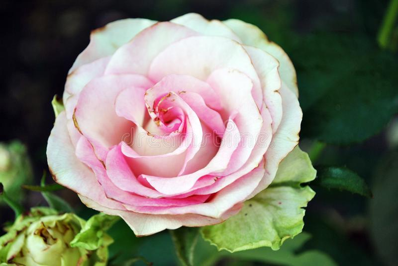 O branco aumentou com o botão de florescência do centro cor-de-rosa no arbusto verde, pétalas fecha-se acima do detalhe, bokeh ob fotografia de stock royalty free