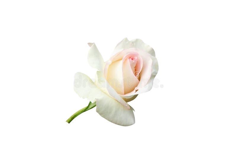 O branco aumentou com gotas cor-de-rosa da borda e da água fotos de stock