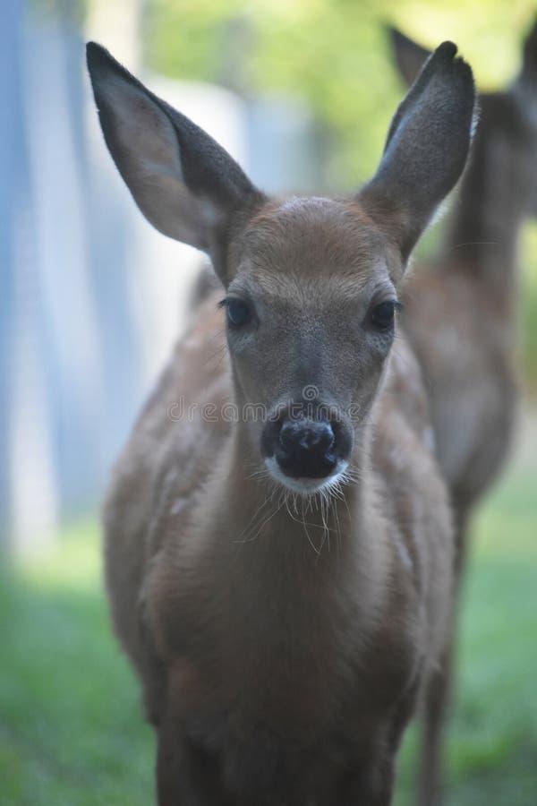 O branco bonito atou os cervos que olham a câmera foto de stock royalty free