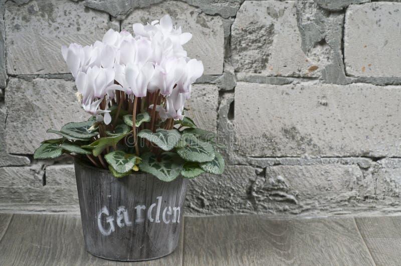 O branco cyclamen em um potenciômetro de flor imagens de stock