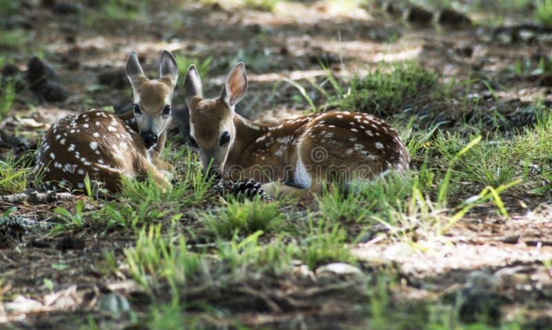 O branco dois atou as jovens corças dos cervos que colocam na grama verde foto de stock royalty free