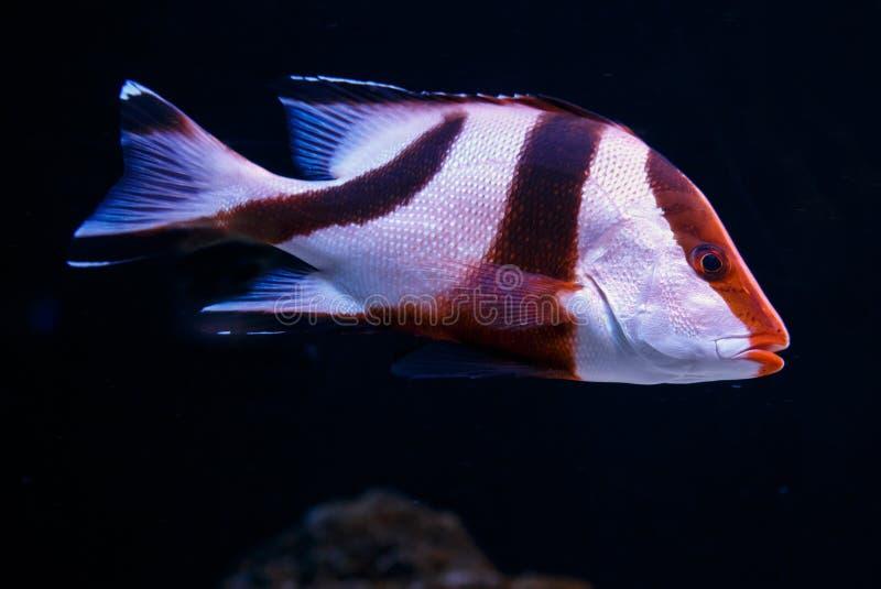 O branco e Brown listraram a natação dos peixes na água escura foto de stock