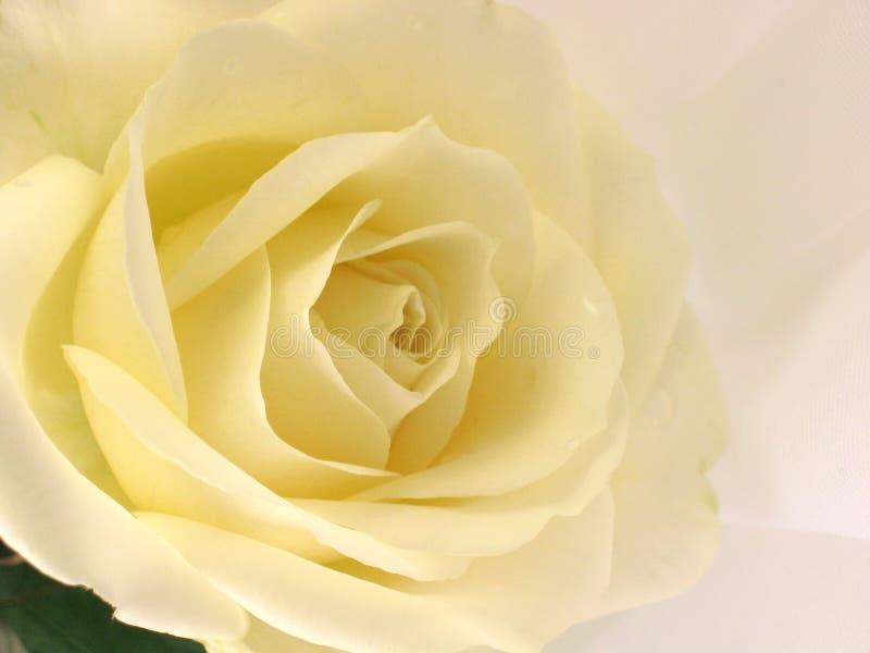 Download O branco levantou-se foto de stock. Imagem de botanic, simbólico - 526710