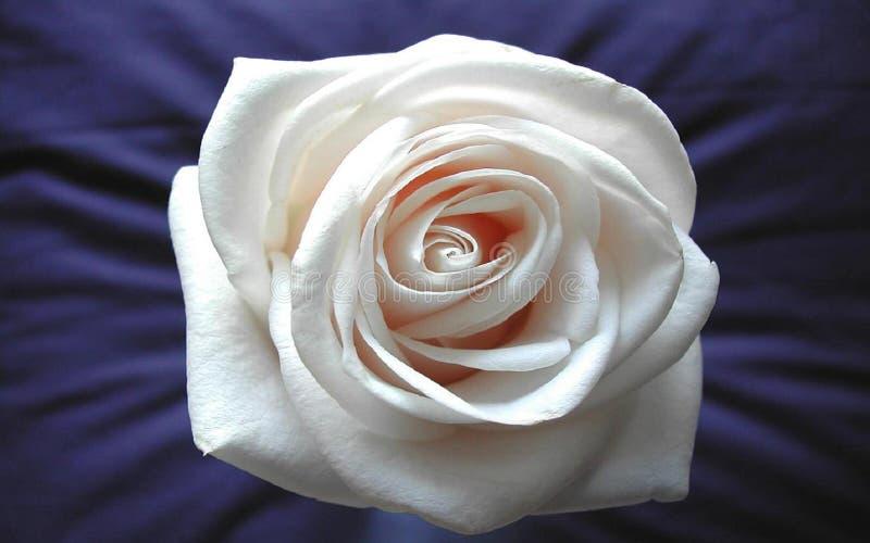 Download O branco levantou-se imagem de stock. Imagem de flores, levantou - 61229