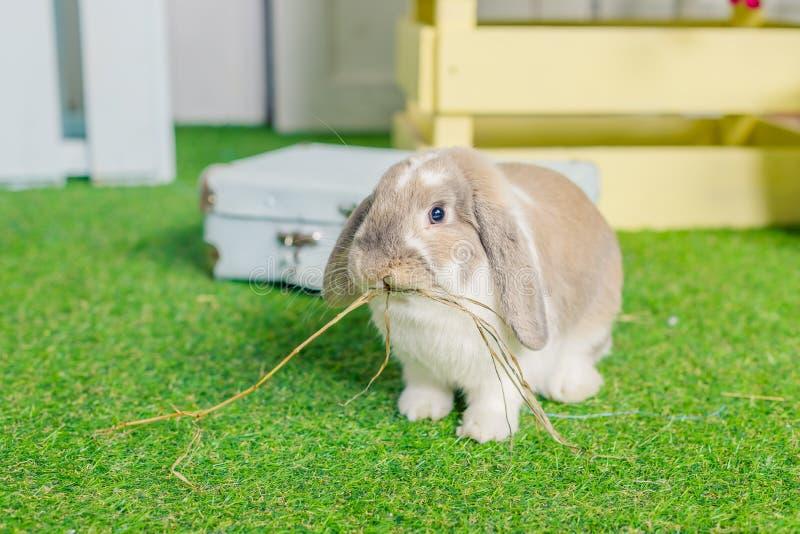 O branco macio pequeno bonito poda coelho de coelho orelhudo que senta-se na grama simbólico da Páscoa e da estação de mola Mola fotografia de stock royalty free